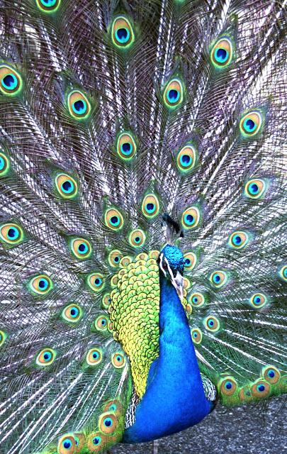 Peacock_0002.jpg