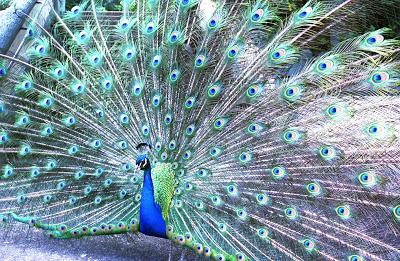 Peacock_0003.jpg