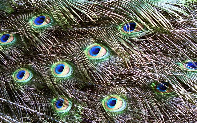 Peacock_0004.jpg